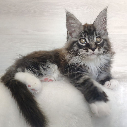 500 Itan Maine Coon male kitten