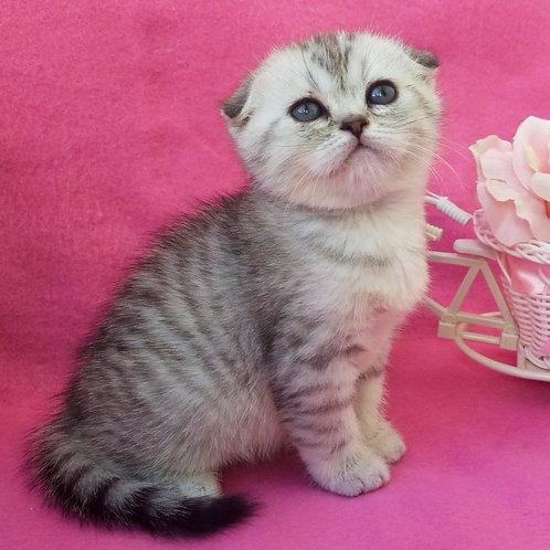 1157 Jedi  Scottish fold shorthair male kitten