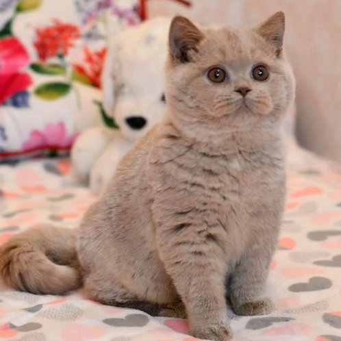535 Viva La Rose  British shorthair female kitten