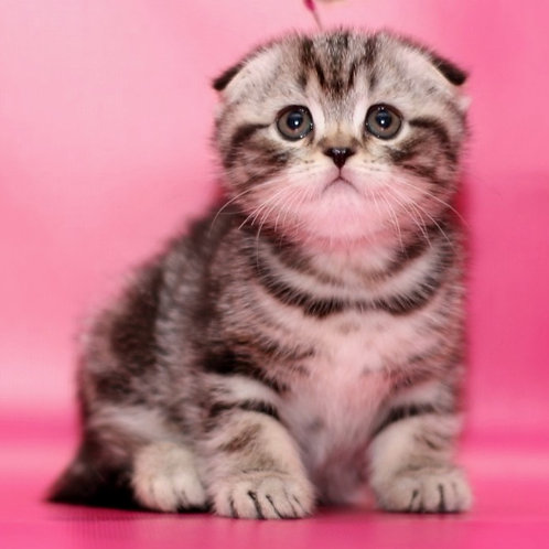 618 Dior Scottish fold shorthair male kitten