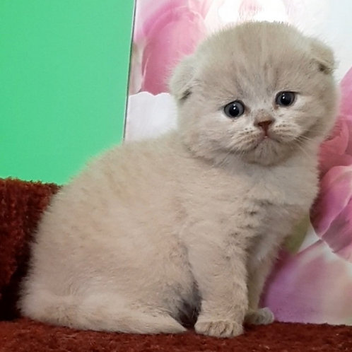 Tarik Scottish fold shorthair male kitten