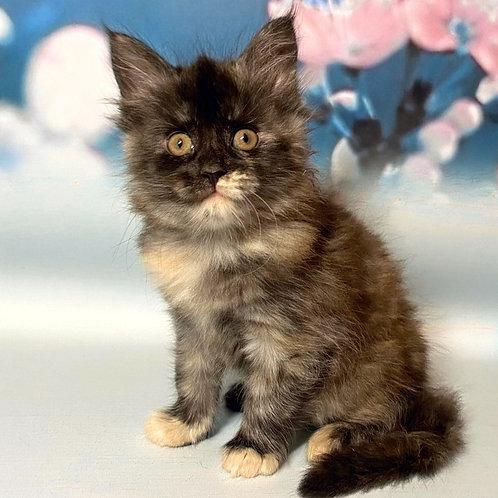 741 Arisha Maine Coon female kitten