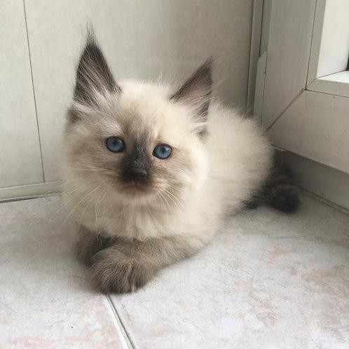Johnny Depp Siberian male kitten