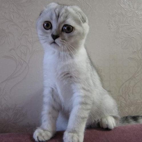 977 Ell  Scottish fold shorthair male kitten