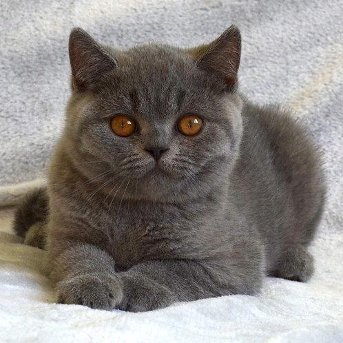 1096 Gibson  British shorthair male kitten