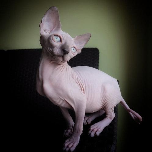 661 Derbi  female Sphynx   kitten