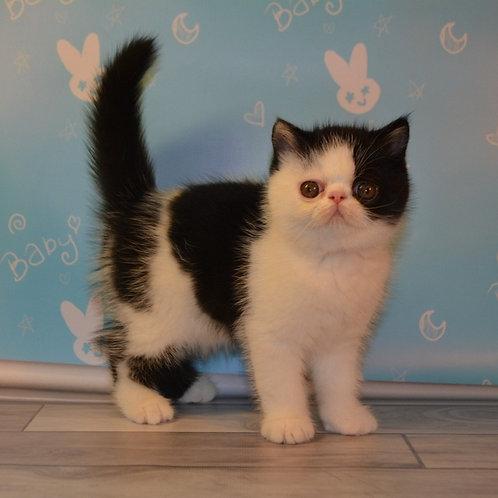 107 Volt Exotic shorthair male kitten