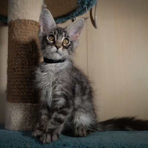375 Jazz     Maine Coon male kitten