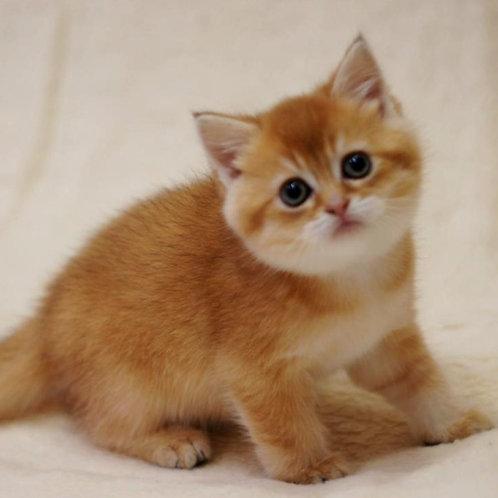 148 Iris  British shorthair male kitten
