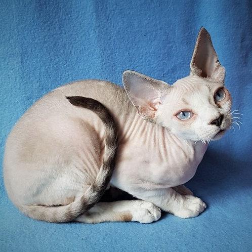 327 Wasabi    male kitten Devon Rex