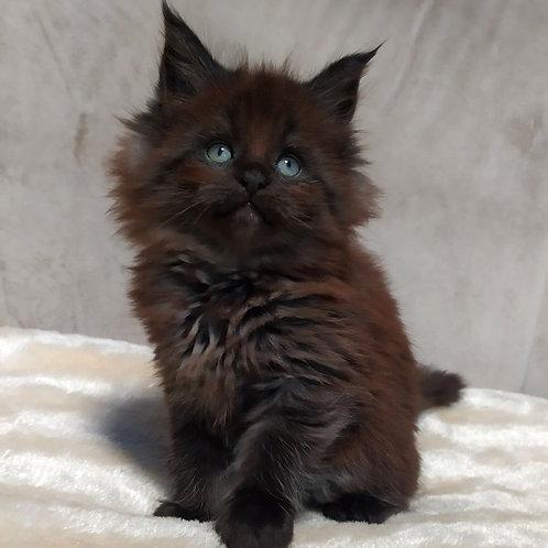 898 Maks Maine Coon male kitten