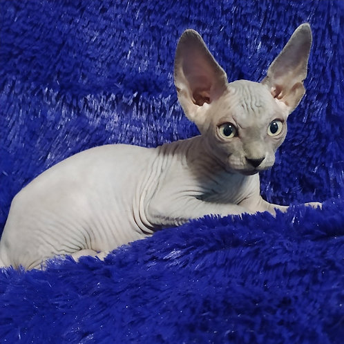 396 Djustin male Sphinx kitten