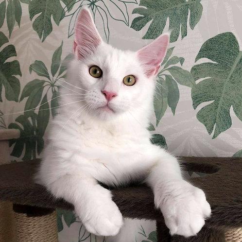 618 Lavin  Maine Coon male kitten