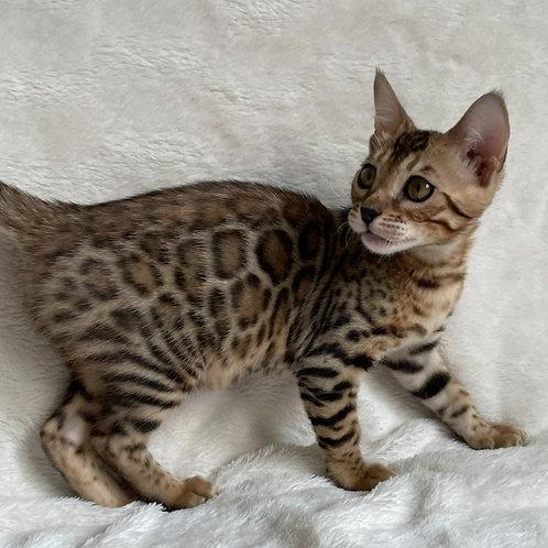 196 Nikoletta  purebred Bengal female kitten