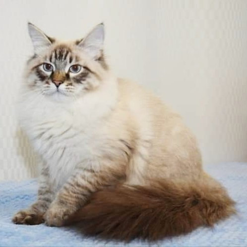 Wolf Siberian male kitten