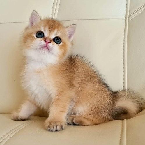 612 Walington  British shorthair male kitten