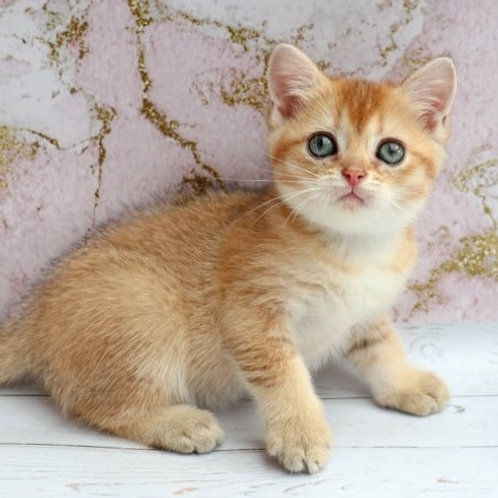 748 Daniel  British shorthair male kitten