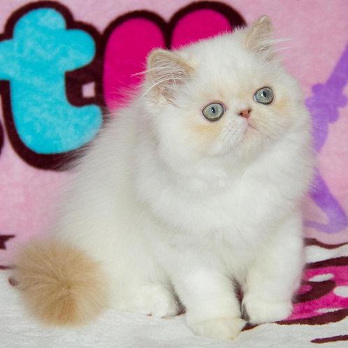 Alisa Persian female kitten