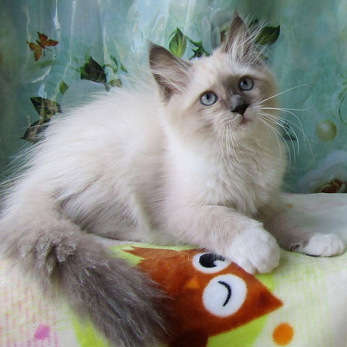 264 Sultan   Siberian male kitten