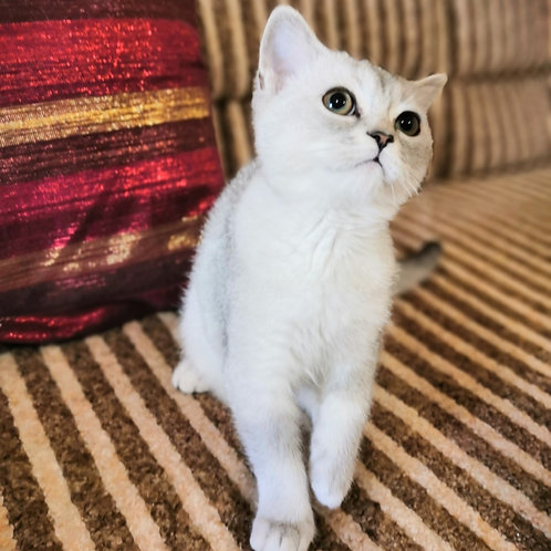 446 Crocus     Scottish straight shorthair male kitten