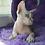 Thumbnail: 495 Astrea female Bambino  kitten
