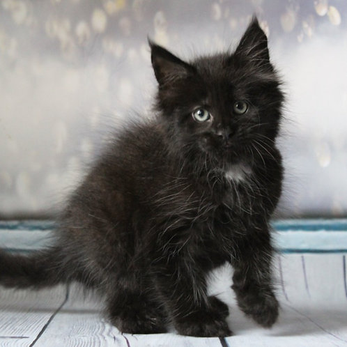 630 Luffy Maine Coon male kitten