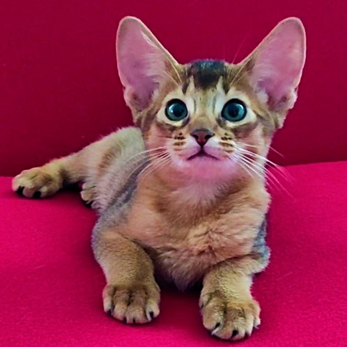 169 Yasmina   purebred Abyssinian female kitten