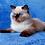 Thumbnail: 254 Hassie Persian  female kitten
