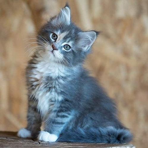 Meduza Maine Coon female kitten