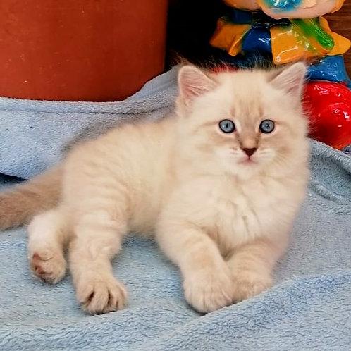 208 Panakeya      Siberian female kitten