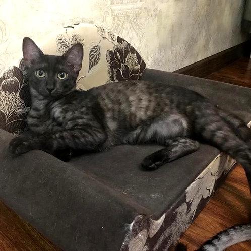 143 Remao   purebred Egyptian mau male kitten
