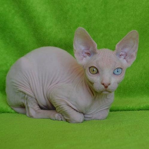 Yanus male Sphinx kitten