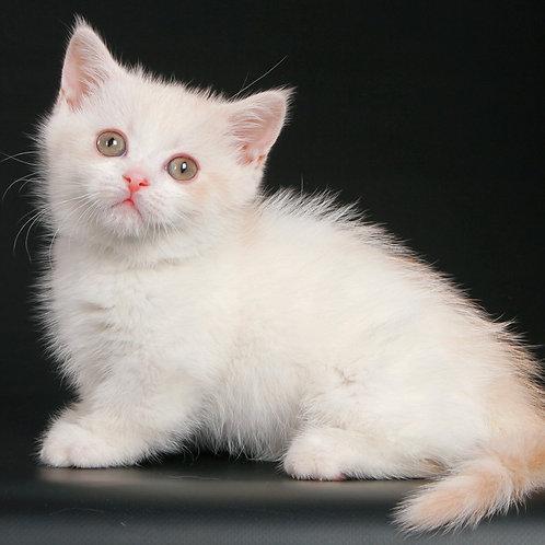 356 Azbek    Munchkin shorthair male kitten