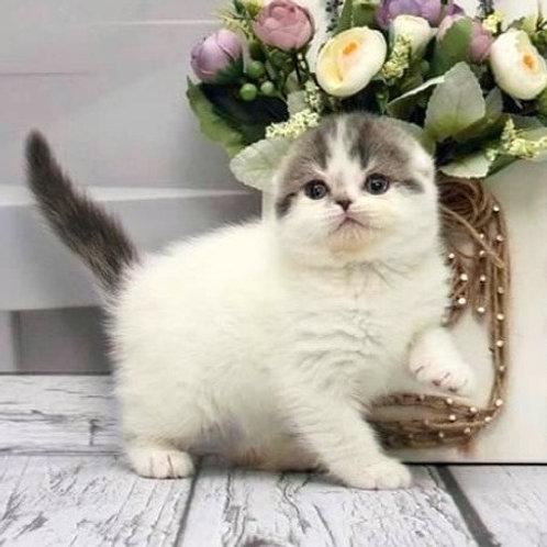 498 Ultra      Scottish fold shorthair female kitten