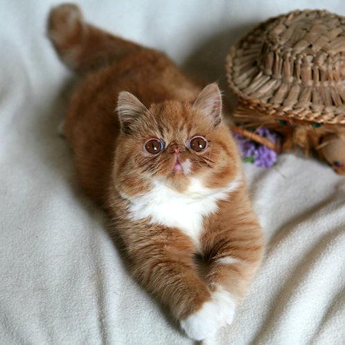 14 Oliver Exotic  male kitten