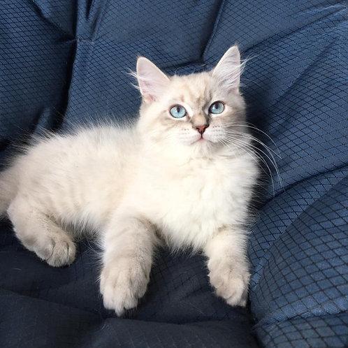 627 Qairos Siberian male kitten
