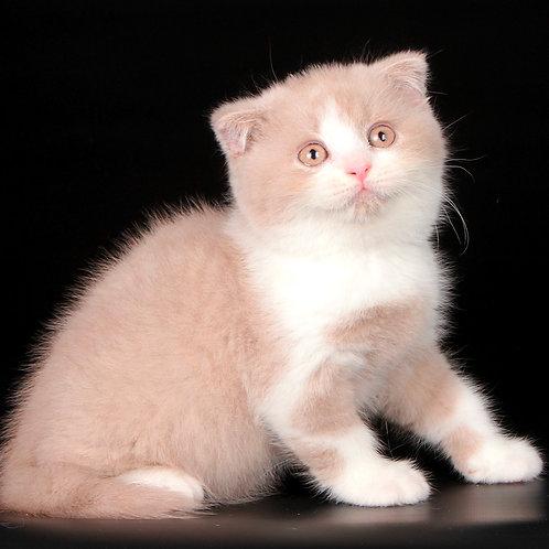 438 Neapolo    Scottish fold shorthair male kitten