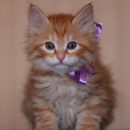 224 Gary  Kurilian Bobtail male kitten