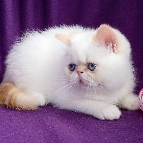 94 Ronaldo  Exotic  male kitten