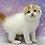 Thumbnail: 657 Biscuit   Scottish fold shorthair male kitten