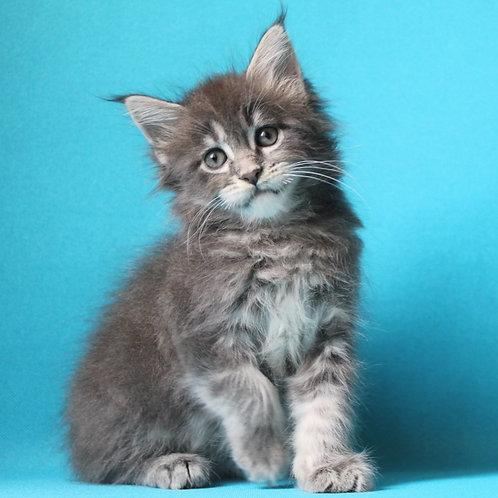 571 Ragna  Maine Coon female kitten