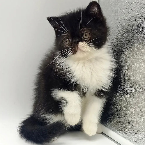 277 Ilyusha  Exotic  male kitten