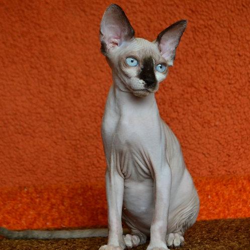 272 Dominica  female Sphynx kitten