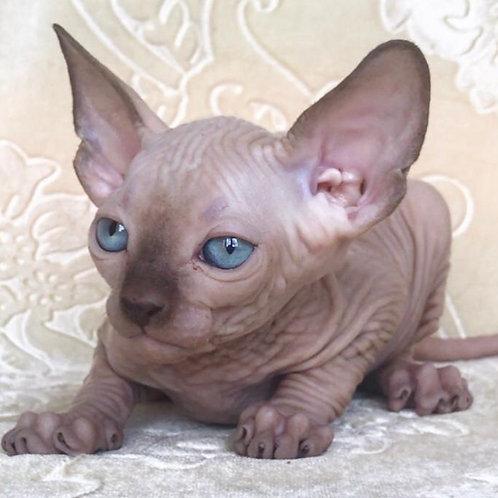 Olympus male Sphinx kitten