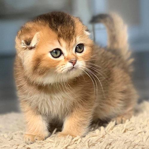383 Rocky    Scottish fold shorthair male kitten