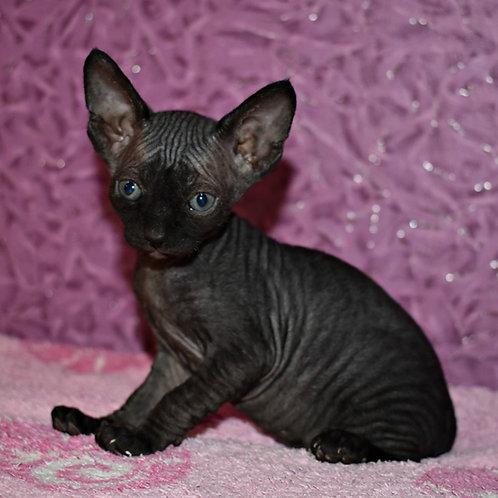 Kaira female Sphinx kitten