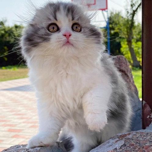 538 Anastasia    Scottish fold longhair female kitten