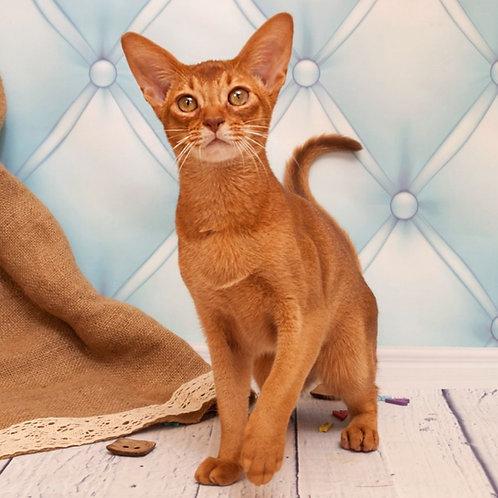 19 Efim   purebred Abyssinian male kitten