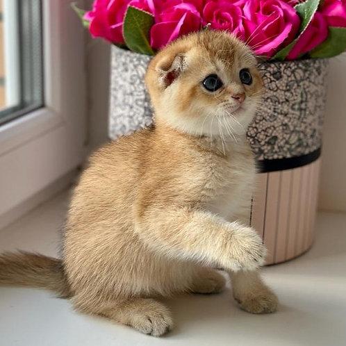 1043 Arkasha Scottish fold shorthair male kitten
