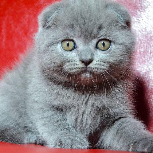 Joni Scottish fold shorthair male kitten